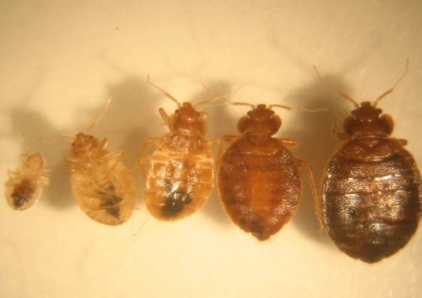 Size Of A Bed Bug 28 Images The Essential Guide To Bed Bugs Bed Bugs Pictures Actual Size